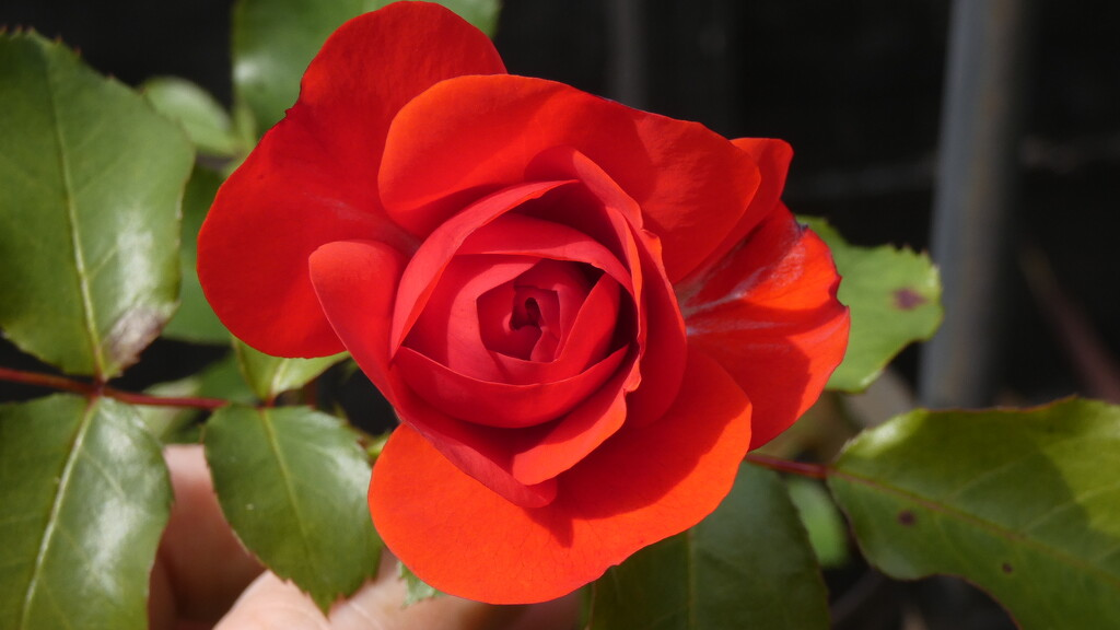 Red rose  by robboconnor