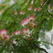 Albizia Julibrissin Rosea aka Silk Tree