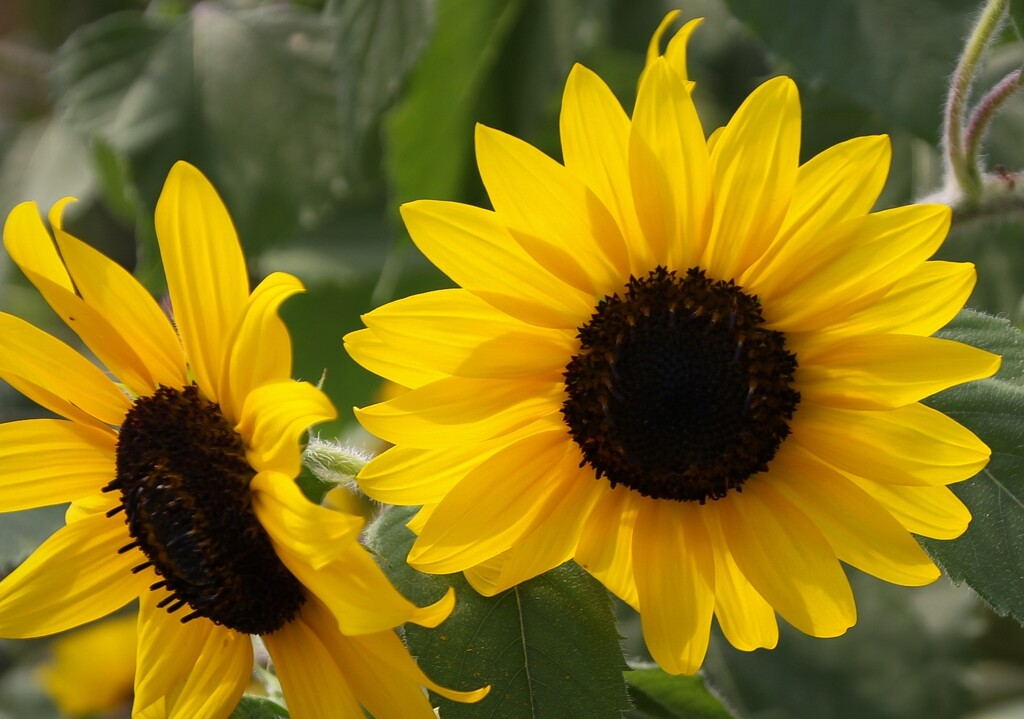 Happy sunflowers by mittens