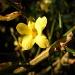 Jasminum nudiflorum by pyrrhula