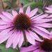 Echinacea by busylady