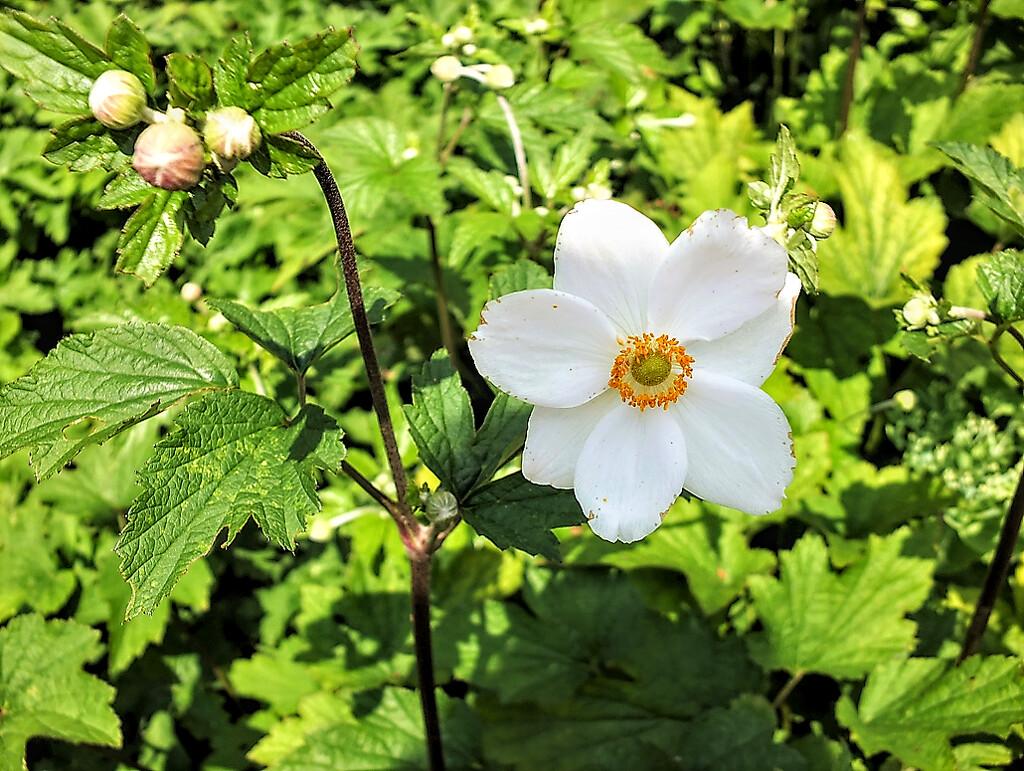 Japanese Anemone by bigmxx