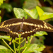 One More Giant Swallowtail Butterfly!