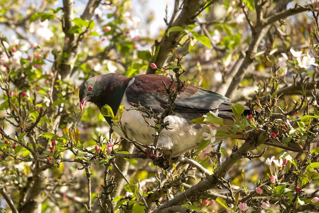 New Zealand native wood pigeon - kereru by maureenpp