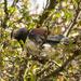 New Zealand native wood pigeon - kereru