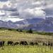 Buffalo grazing in the vineyards