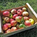 Apple time in the orchard