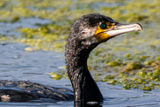 16th Sep 2021 - Up close with a Cormorant