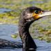 Up close with a Cormorant by stevejacob