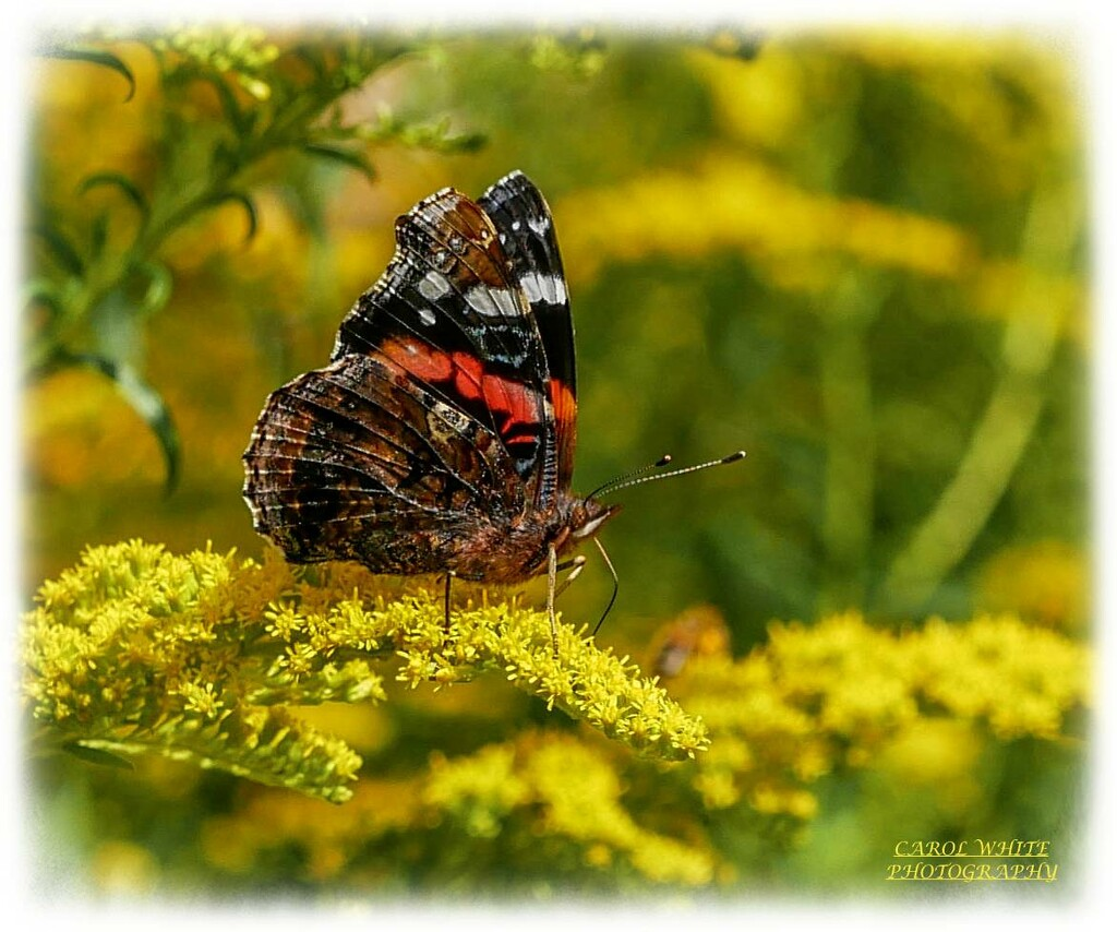 Red Admiral Butterfly And Golden Rod by carolmw
