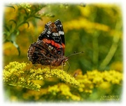 16th Sep 2021 - Red Admiral Butterfly And Golden Rod