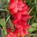 Kaffir lily by busylady