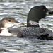 Juvenile and mother Loon
