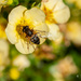 Wasp on yellow flower by elisasaeter