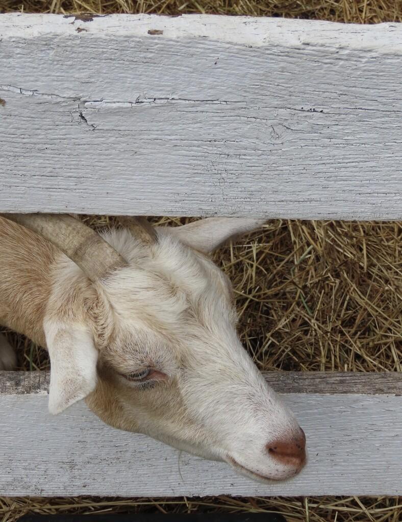 I love goats! by mzzhope