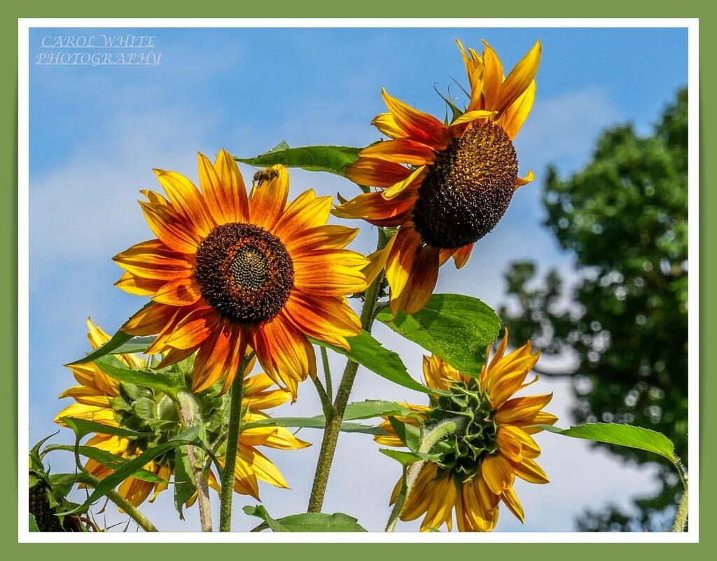 Sunflowers And Photobomber by carolmw