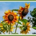 Sunflowers And Photobomber