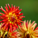Last of the Fire Dahlias by phil_sandford