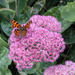 Butterfly on the sedum by busylady