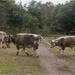 English Longhorn Cows