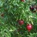 Petite Pomegranates