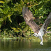 The osprey that caught nothing. by dutchothotmailcom