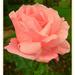 last rose of September