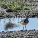 Kildeer and a puddle