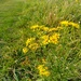 Ragwort on the marshes
