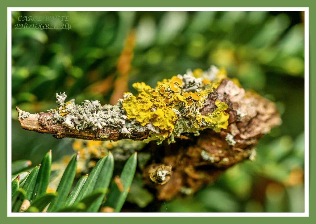 Lichen by carolmw