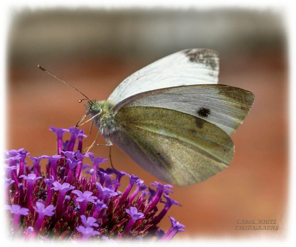 Small White Butterfly by carolmw