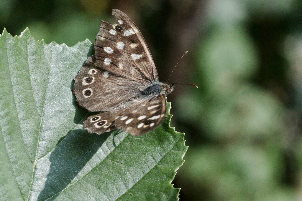 SPECKLED WOOD BUTTERFLY by markp