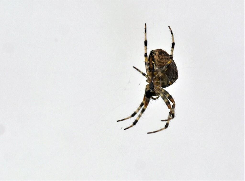 Garden spider by rosiekind