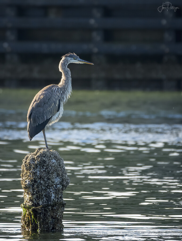 Heron On Piling  by jgpittenger