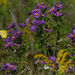 New England aster with clouded sulphur butterfly