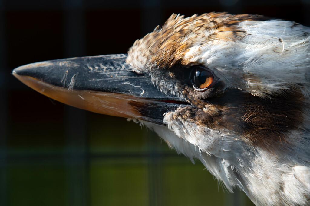 kookaburra by teriyakih