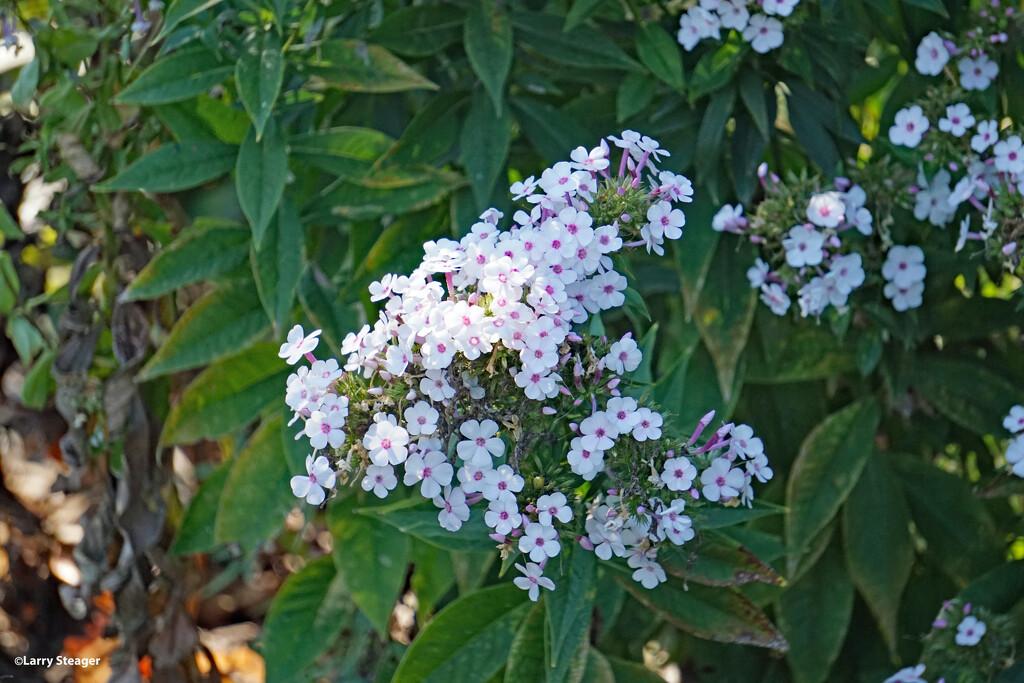 White flowers by larrysphotos