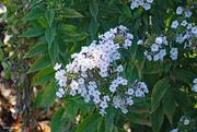 18th Sep 2021 - White flowers