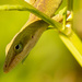 Anole Lizard Hanging Out!