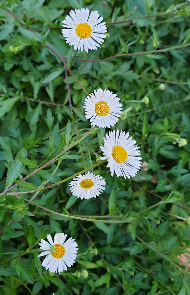 Seaside Daisy Chain by onewing