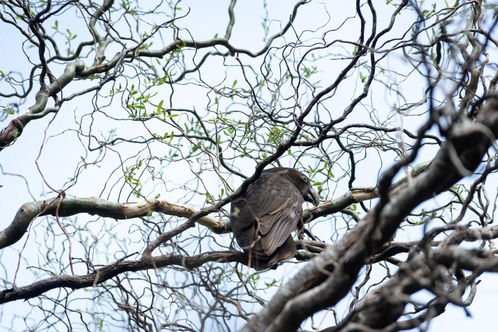 Kaka  - New Zealand Native Bird by yaorenliu
