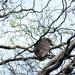 Kaka  - New Zealand Native Bird