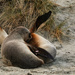 Mother and young - New Zealand sea lions