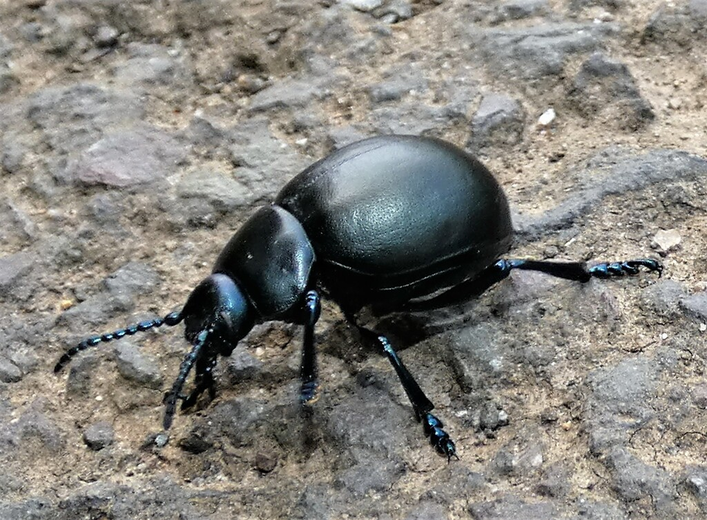 Bloody-nosed Beetle by julienne1