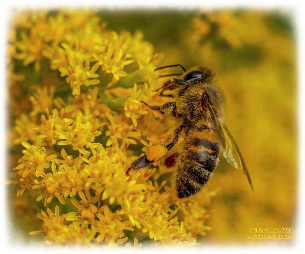 Busy Bee by carolmw