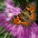 Butterfly Zoom .