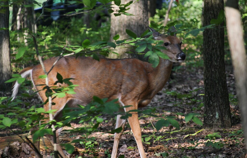 Deer in the park by mittens