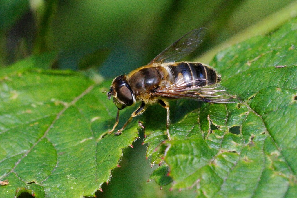 HOVER-FLY AT REST by markp