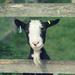 Goaty McGoatface