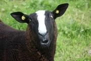 19th Sep 2021 - Balwen Sheep